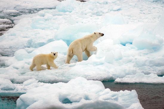 polar bear and her cub