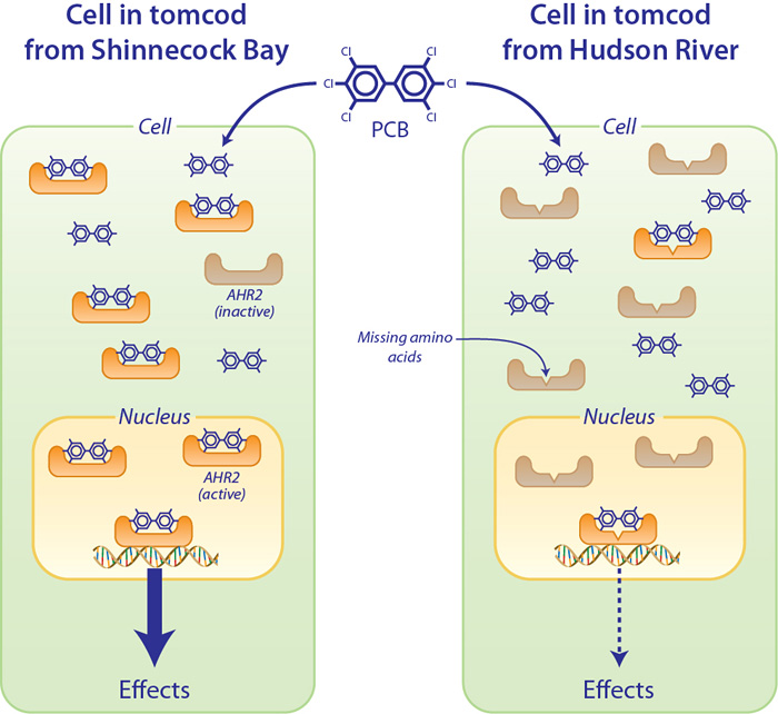Tomcod from the Hudson River have a variant protein that makes them less sensitive to the toxic effects of PCBs.