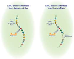 The difference between AHR2 proteins in tomcod from Hudson River (right panel) and Shinnecock Bay (left panel) is the loss of two amino acids out of the 1,104 amino acids that normally make up the AHR protein.