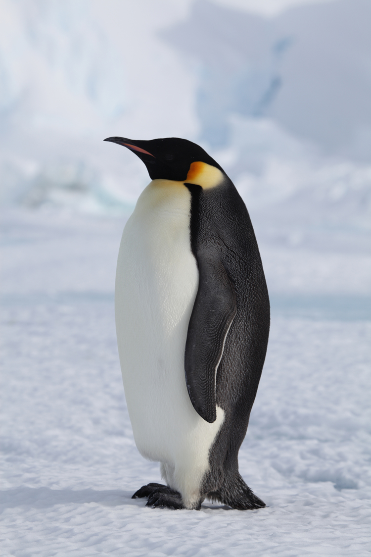 Melting Sea Ice Threatens Emperor Penguins Study Finds