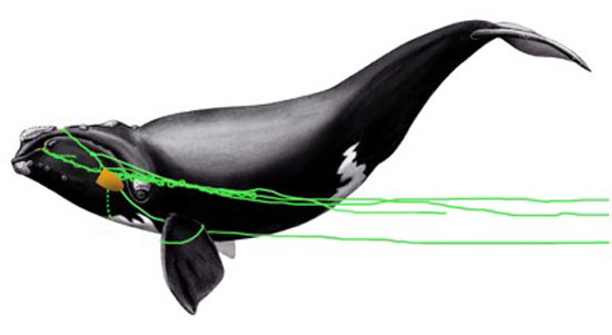sketch of entanglement of right whale # 3311