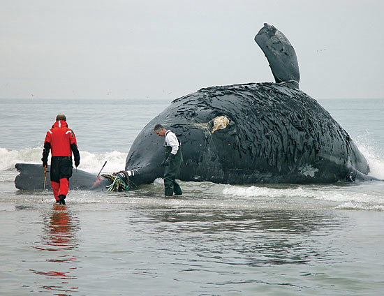 Michael Moore and David Taylor prepare to perform a necropsy on a right whale.