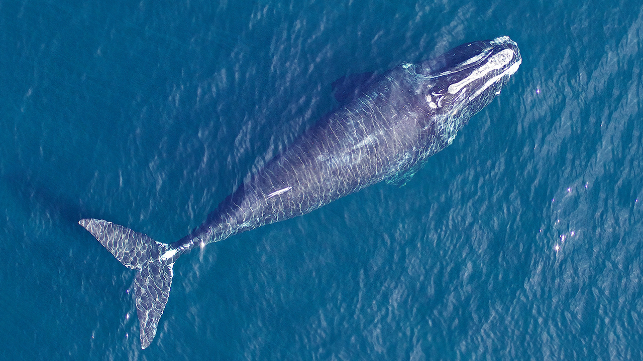 in the past getting aerial photographs of whales meant taking them from a plane or helicopter a small drone equipped with a specialized camera can get - Images Of Whales