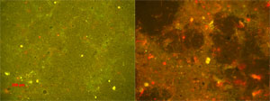 photomicrographs of cells in biofouling test