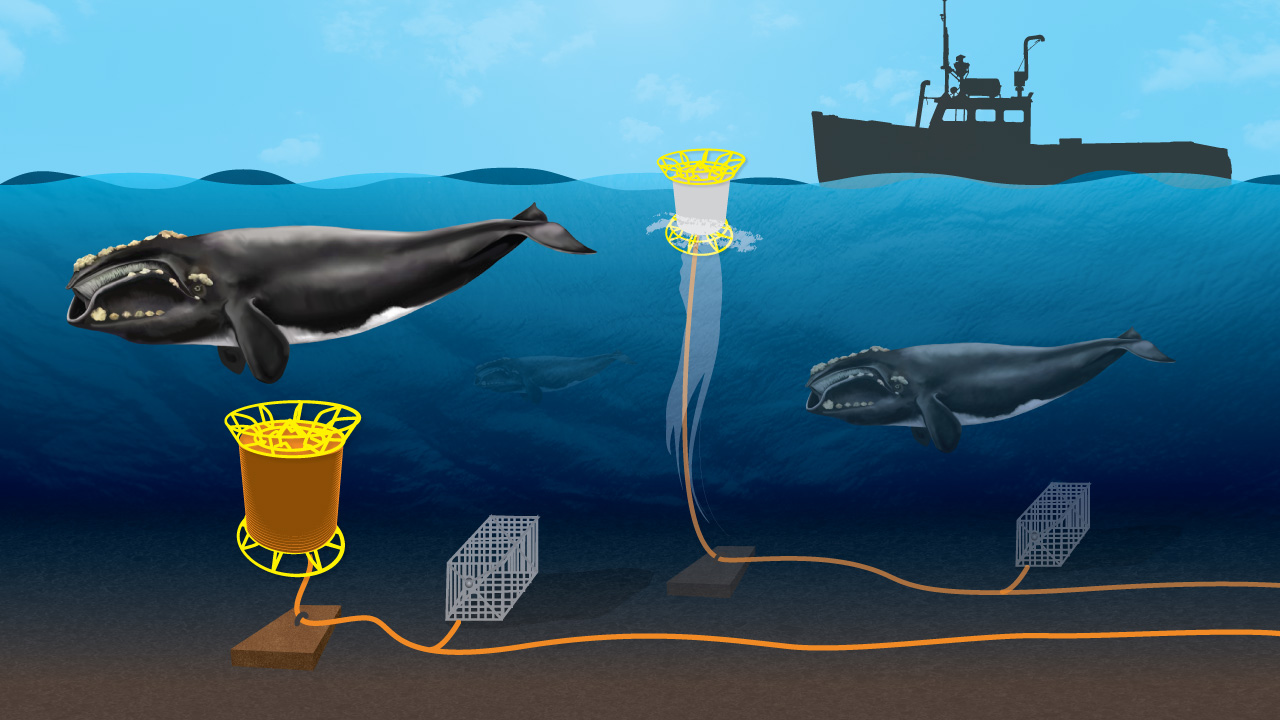 Whale-safe Fishing Gear : Oceanus Magazine
