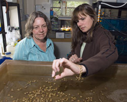 Marine biologists Roxanna Smolowitz and Rebecca Gast examine a batch of tiny seed clams.