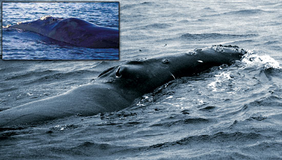 A southern right whale (inset) shows a roll of fat behind its blowhole, which northern right whales often lack.