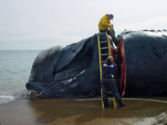 WHOI biologist Michael Moore (top) begins a necropsy to determine what killed this right whale.