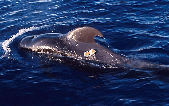 D-tag on a pilot whale