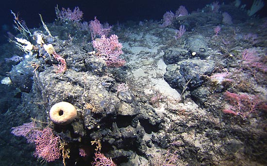 A deep coral community grows on volcanic rock in the New England Seamount chain