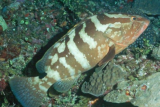 A Nassau grouper.