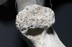 rib of a dead sperm whale