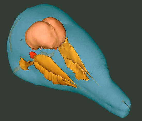 A 3-D image generated from a CT scan highlights selected tissue groups of a bottlenose dolphin?s head.