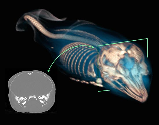 This 3-D image shows an intact, near-term fetus discovered inside an Atlantic white-sided dolphin that stranded and died.