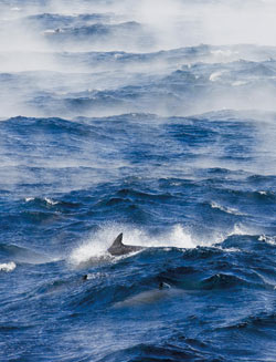 Dolphins cavort amid steep waves and ?sea smoke? off Cape Hatteras. The ?smoke? is created when cold winter air meets the relatively warm waters of the Gulf Stream.