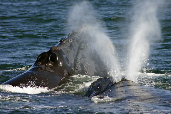 Ship strikes threaten the survival of the North Atlantic right whale.