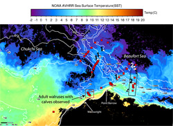 Sea surface temperatures from satellite imagery during August 12-18, 2004 shows a plume of warm Bering Sea water extending into the area where scientists saw unaccompanied walrus calves.