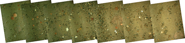 seafloor mosaic of scallop beds