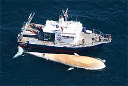 Tioga and finback whale