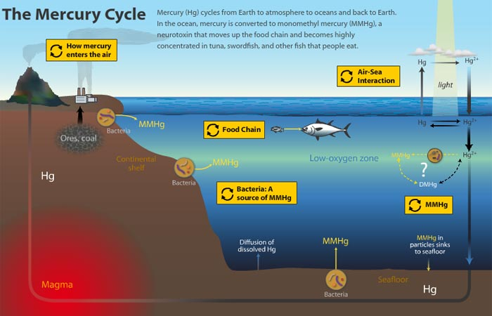 How does toxic mercury get into fish oceanus magazine for Does fish have mercury