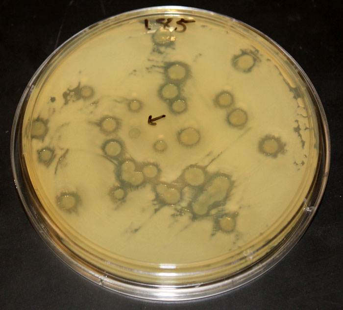 Test plate showing the killing effect of some strains of Vibrio bacteria on another strain.