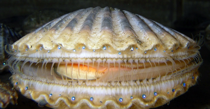 Adult bay scallops use their adductor muscle to open and close their shells