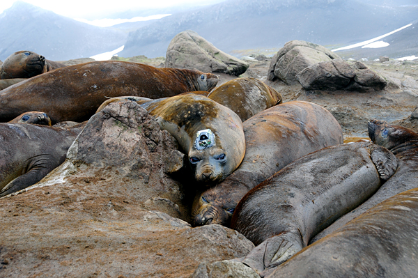 elephant seal, with CTD tag attached