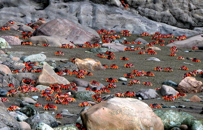A Torrent of Crabs Running to the Sea