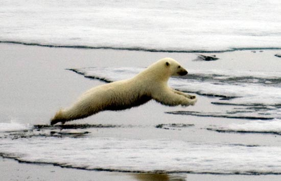 Melting Ice Threatens Polar Bears' Survival