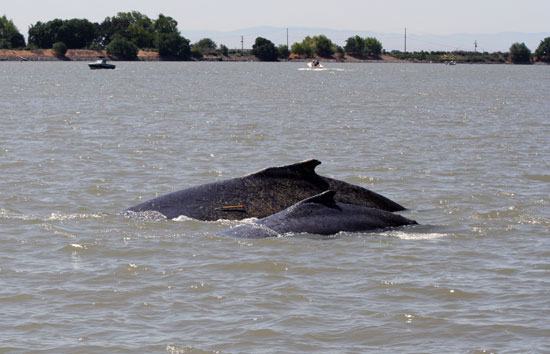 The mother and calf humpbacks, nicknamed