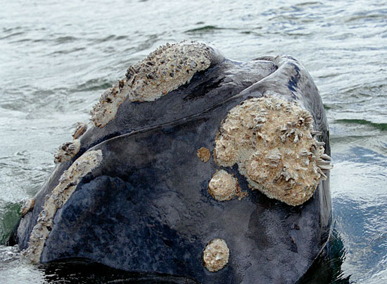Callosities, the gray-white patches on the right whale?s head, are used like fingerprints