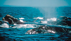 Right whales socialize near the surface, but shipping traffic has been breaking up their parties and lives