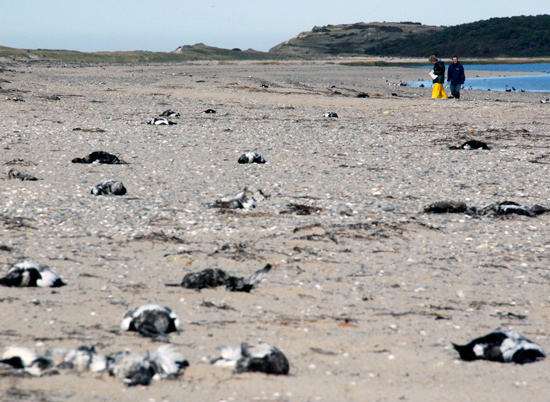 Dead Eider Ducks Litter The Beach Into Distance Large Sea Have Suffered Repeated Mortalities On Cape Cod In Last Few Years