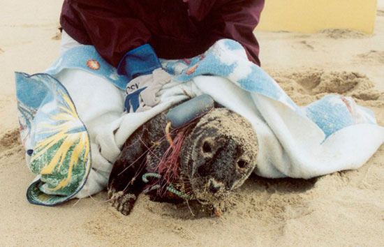 Stranded Marine Mammals Stir Tough Decisions