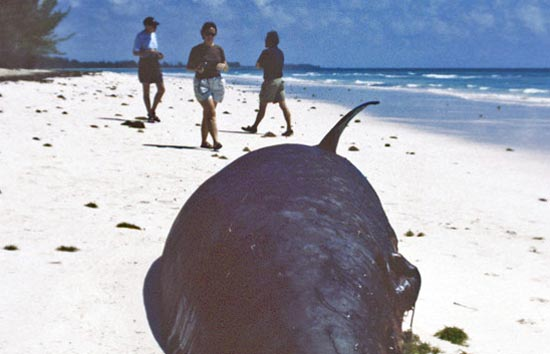 The Sound of Sonar and the Fury about Whale Strandings