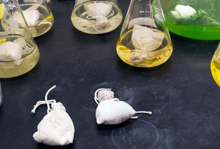 flasks and pouches involved in extracting chemicals made by marine microbes in Tracy Mincer's lab