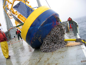 Nootka buoy loaded with barnacles