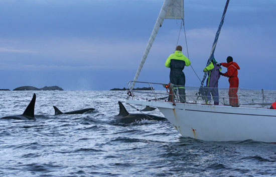 Researchers aboard the sailboat Iolaire watch a close group of killer whales in the Tysfjord, in northern Norway.
