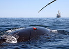North Atlantic Right Whale Initiative