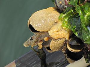 Didemnum vexillum on blue mussels, Connecticut.