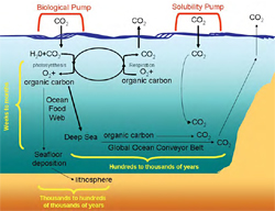 The biological and solubility pumps and their role in transporting atmospheric carbon to the deep sea.