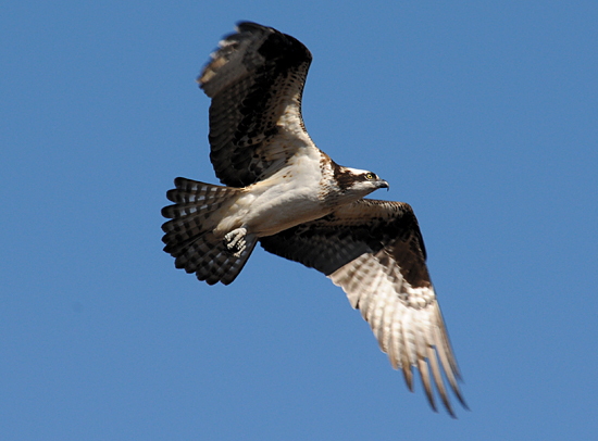 Woods Hole Osprey