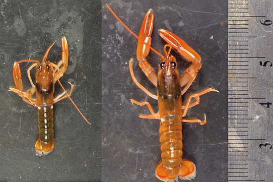 lobster growth comparision