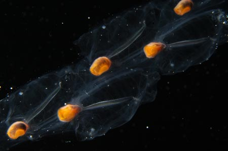 chain of salps