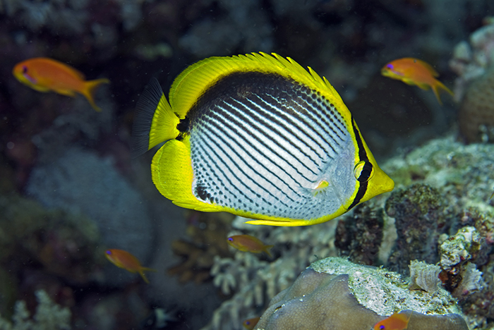 Blackbacked butterfly fish