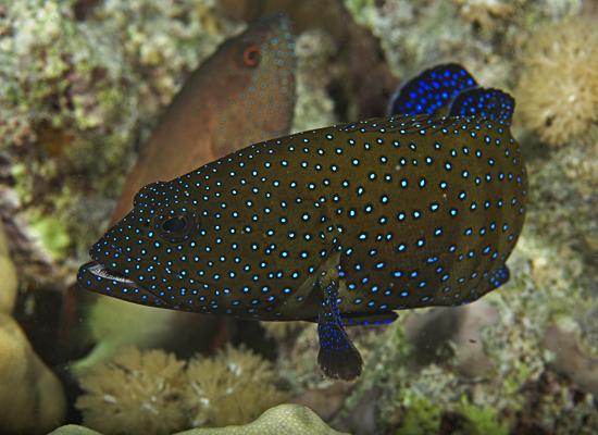 peacock grouper