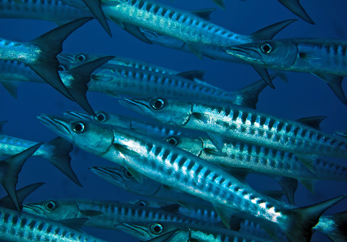 school of blackfin barracuda near reef in Papua New Guinea