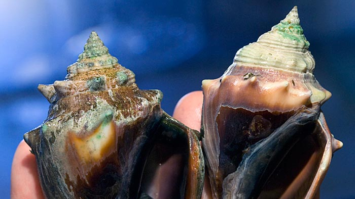Ocean acidification's effect on shells