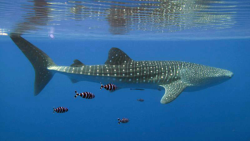 A whale shark in the Red Sea