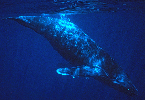 Humpback whale underwater.